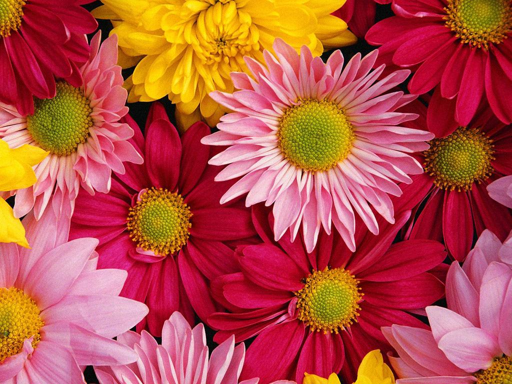 Είναι λουλούδια – τα χρυσανθεμάκια